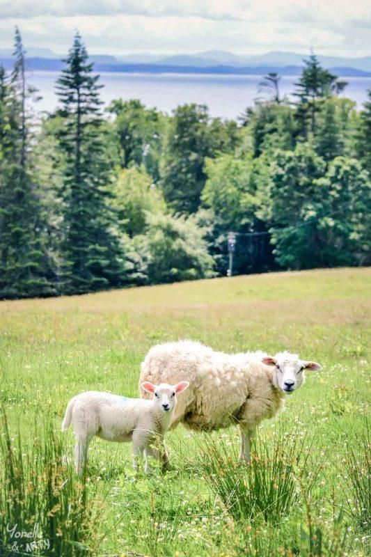 Un agneau et sa mère - Ecosse